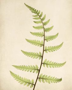 Fine art botanical print of a ghost fern by Allison Trentelman.
