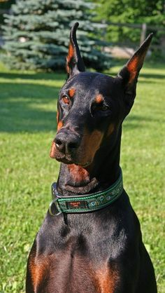 Doberman Pinscher.  Really it's a tie, my favorite pure breed dog is between the rough Collie or the Doberman Pinscher.  I find them  both to be beautiful and intelligent.