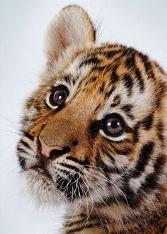 Funny Wildlife, baby tiger on We Heart It....