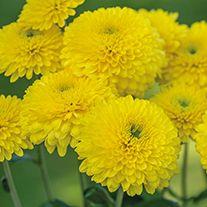Chrysanthemum 'Littleton Yellow' (Late) Yellow Chrysanthemum, Chrysanthemums, Birth Flowers, Daisies, Yellow Flowers, Garden Plants, Beautiful Flowers, Roots, Bouquet
