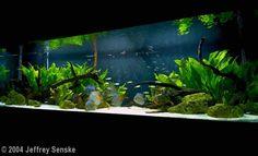jeff senske heiko's lesson aquarium discus - Google Search