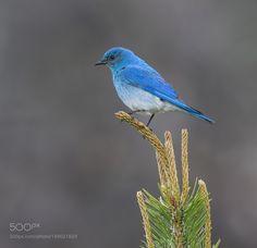 Mountain Bluebird by jnsconstable via http://ift.tt/2hVrV2k