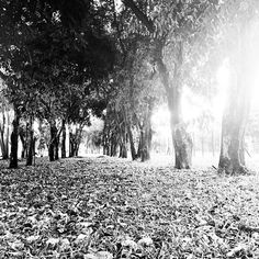 #piracicaba #countryside #brazil #bw #blackandwhite #park #instagood #photooftheday #picoftheday #instadaily #life #iphoneonly #beauty #simplethings #intothewild #instasize #peace #vibe #strolling #trees #landscape #instapic #instaphoto #art #photo #black #white #lifestyle #nature #dryleavesontheground by rodrigo_soliani