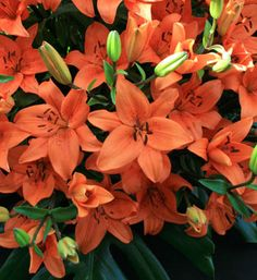 orange Lilium Tresor