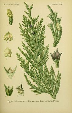 img / trees shrubs drawings / designs cypress trees and shrubs 0115 lawson - cupressus lawsoniana.jpg