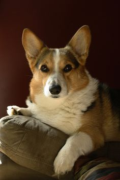 This is why I love dogs oh to be a Oh nuthin' Just knitting a doggie Corgi Pembroke Welsh Corgi Puppies, Corgi Dog, Dog Cat, Pet Pet, Pet Dogs, Cute Corgi, Cute Puppies, Dogs And Puppies, Doggies