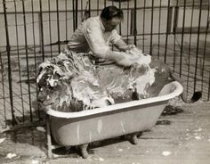 Old Circus Photos - every lion needs a bath before his performance