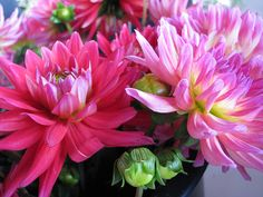 Dahlia colors I want