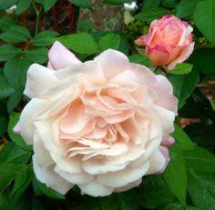 Gruss an Auchen - Roses forum - GardenWeb