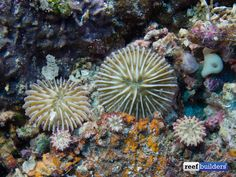 Three small Fungia growing on a larger Fungia skeleton :: ReefBuilders
