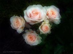 JP: Gentle Fairy Roses