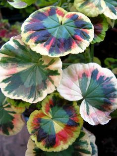Variegated Geranium....I want one in my garden, please!!