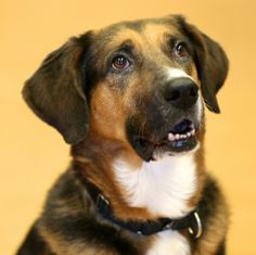 Juliet, Shepherd - Hound mix, 4 years, Female  - She's at PAWS. I wish I could adopt her!!