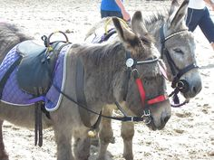 Scarborough - North Yorkshire - England (beach donkeys)