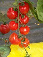 Sun Cherry Premium F1 plant