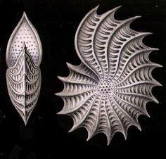 Foraminifera Polystomella aculeata