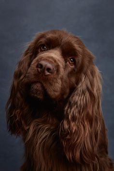 14 Best Sussex Spaniel Images In 2019 Sussex Spaniel Clumber