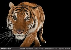 An+endangered+Malayan+tiger,+Panthera+tigris+jacksoni,+at+the+Omaha+Zoo.