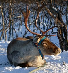 Reindeer - have been domesticated and tended by Finns and other arctic peoples in Europe for centuries