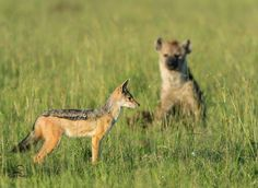 """""""Enemies Wait their Turn"""" by David & Shiela Glatz on 500px ~ Black-backed Jackal concentrates on the Lions feeding on kill, but he's not likely to miss the presence of his enemy the Spotted Hyena lurking in the background. ~ Masai Mara, Kenya."""
