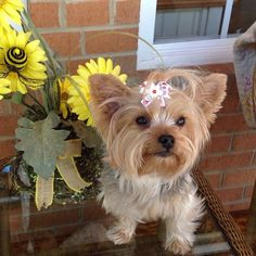 """This is Daisy Mae the Yorkie helping her mom out in the garden wearing one of the bows from our """"Lucky Ladybugs"""" pair."""
