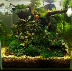 Small bucephalandra cube And don't miss that super healthy fissidens