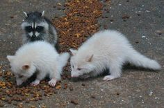 Albino Raccoon babies...I didn't think raccoons could get any cuter! I lied