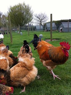 Sussex Hens Buff by PlanetJilly, via Flickr