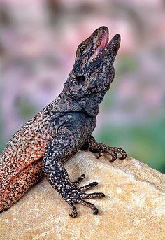 Male chuckwalla lizard by Bob Jensen on 500px
