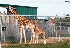 These beautiful Giraffes, looked as if they were posing for their pictures at Lion Country Safari.