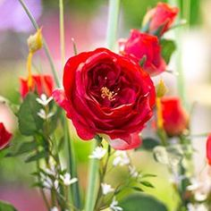 Perfekt für jeden Anlass! #Schnittblumen #Blumenstrauß #Blumen #verschenken Gerbera, Flowers, Plants, Chrysanthemums, Cut Flowers, Flora, Royal Icing Flowers, Floral, Plant