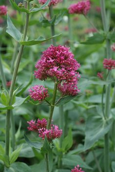 Valeriana montana in pink, red and white, it lines the length of my driveway but needs a firm hand