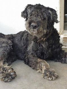 He is very special. he looks so defeated and sad and very thin. He seemed to have trouble getting up and this beauty needs some help. Please SHARE, a FOSTER would save his beautiful life. Thanks! #A4801349 I'm an approximately 6 year old male schnauzer stand. I am not yet neutered. https://www.facebook.com/171850219654287/photos/pb.171850219654287.-2207520000.1424377608./373252096180764/?type=3&theater