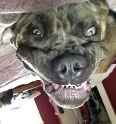 This is Bentley, a 2-year-old Male Cane Corso from Quebec, Canada. Bentley spends most of his days sleeping and snoring away in my bed!! When he isn't sleeping he loves to be the center of attention and eat cookies :)
