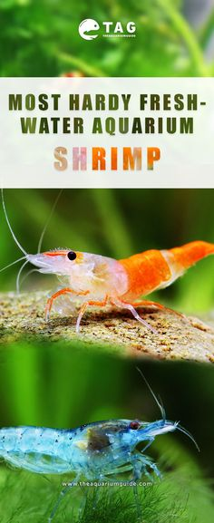 Find out which freshwater shrimp is the most resistant and easy to care for. - # find # out # is # easy to care # you Find out which freshwater shrimp is the most resistant and maintain . Clementine Hepburn iphoneteknik_cf Aquarienfische Find out Freshwater Aquarium Shrimp, Tropical Freshwater Fish, Tropical Fish, Colorful Fish, Pet Shrimp, Shrimp Tank, Guppy, Kids Aquarium, Aquarium Ideas