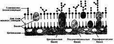 Поверхностный аппарат клетки