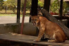 Sussuarana pode ser observada no mini zoológico de Boa Vista - Roraima, local destinado ao cuidado de animais apreendidos em cativeiros ilegais encontrados no estado MAIS Eduardo Vessoni/UOL