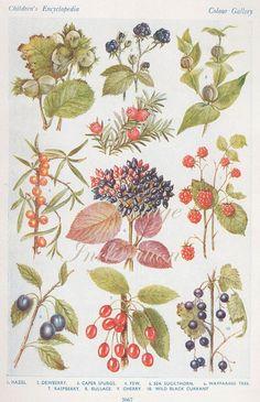 Vintage 1930s Botanical Print Antique BERRIES, plant print botanical print, bookplate art print, berries fruit plants plant wall print 3667