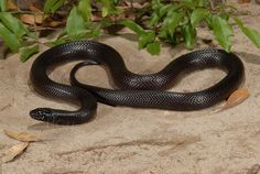 Mexican Black Kingsnake (Lampropeltis getula nigritus)