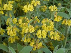 Phlomis fruticosa - Jerusalem Sage is a large, multi-stemmed, broad, evergreen shrub, up to 3 feet m) tall and up to 5 feet m) wide. Colorful Flowers, Wild Flowers, Sage Plant, Virtual Flowers, Herbaceous Perennials, Planting Flowers, Flowering Plants, Evergreen Shrubs, Native Plants