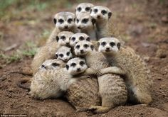 A dozen meerkats huddle together in a touching scene as they scramble to keep the heat. The furry critters bundled on top of each other in their safari enclosure after they were caught in a rain shower
