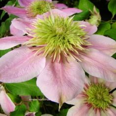 The Clematis database: Clematis (Clematis 'Empress') (All Things Plants)