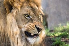 Snarling Lion by Lyons Design on 500px