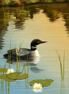 Common Loon by Shorra on DeviantArt Bird Pictures, Pictures To Paint, Nature Pictures, Wildlife Paintings, Wildlife Art, Beautiful Birds, Animals Beautiful, Duck Art, Bird Drawings
