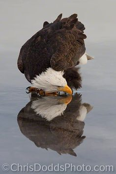 REFLECTIONS by Christopher Dodds on 500px. A vertical image of an American Bald Eagle and it's reflection while drinking water on the surface of the icy ground near Kachemak Bay, Alaska. The Bald Eagle (Haliaeetus leucocephalus, Pygargue a Tete Blanche) is a bird of prey found in North America. It is the national bird and symbol of the United States of America.