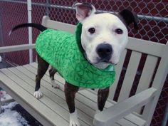 Manhattan Center KIND - A1024160 *** ADOPTED AND RETURNED ON 2/4/15 *** AVAILABLE FOR DIRECT ADOPTION WITH A SIGNED RABIES WAIVER *** SPAYED FEMALE, BR BRINDLE / WHITE, AM PIT BULL TER MIX, 2 yrs, 2 mos RETURN - ONHOLDHERE, HOLD FOR ID Reason PETS CONFL Intake condition EXAM REQ Intake Date 02/04/2015 https://www.facebook.com/photo.php?fbid=957805434232336