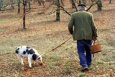 Truffle Pig searching for black truffles. Cool article. :)