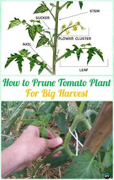 Tomato Pruning How to Prune Tomato Plants for Harvest Various Instructions - Gardening Tips to Grow Tomatoes In Containers - Tips For Growing Tomatoes, Growing Tomatoes In Containers, How To Grow Tomatoes, Growing Herbs, Growing Squash, Growing Zucchini, How To Grow Cucumbers, Growing Peppers, Hydroponic Gardening