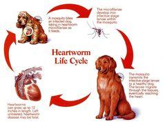 education blog indoor cats risk heartworm
