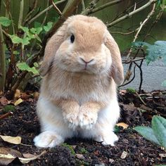 They have giant ears yet they choose not to listen to you at almost all times. Dobbybunny on instagram